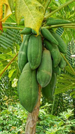 Papaya Tree in natural surrounding in Vietnam Stock Photo