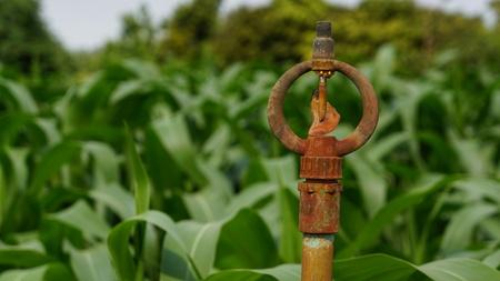 Rusty Irrigation Sprinkler in Green Corn Field