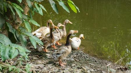 Group of Brown Ducks entering Pond