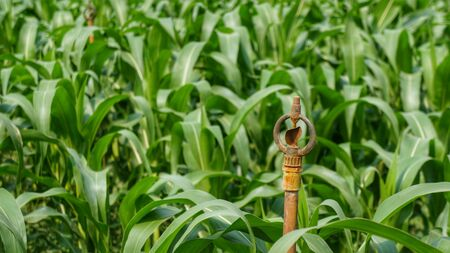Corn field with inactive rusty irrigation sprinkler