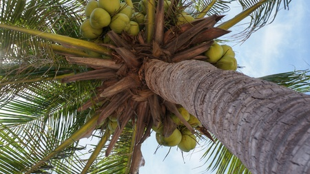 big leafs: Coconut tree with group of green ripe coconuts hanging under the big green leafs