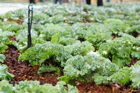 Kanchanaburi,Thailand - 24 December 2018 : Watering plants in the garden.Cabbage growing in field garden,Fresh cabbage in a vegetable garden in CHIA TAI Farm of Kanchanaburi,Thailand, Agriculture conc 스톡 콘텐츠