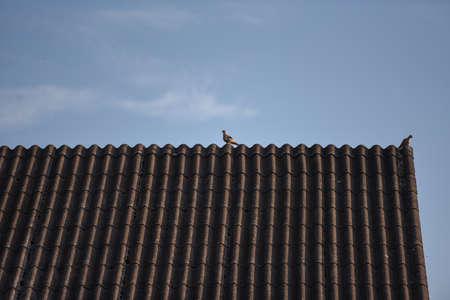 housetop: Dove