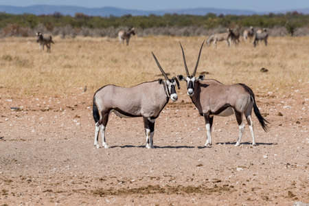 oryx Stock Photo