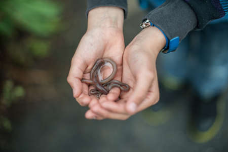 Two hands holding an earthworm. 版權商用圖片
