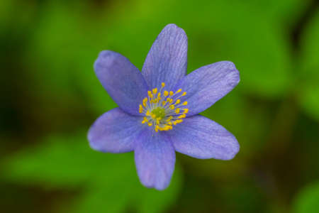 Kidneywort, Anemone hepatica of the buttercup family in the spring.