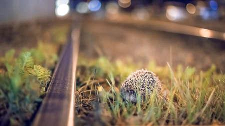 Hedgehog roaming around at night on the tram tracks