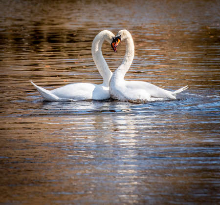 A mute swan couple in a lake. Cygnus olor.