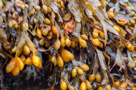 Fucus vesiculosus, bladder wrack or rockweed hanging from a wet rock. Also known as black tang, sea oak, black tany, dyers fucus and rock wrack. Reklamní fotografie