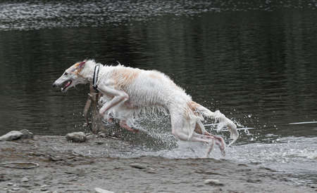 A borzoi dog leaping out of some muddy water.