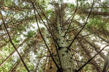 In a dense pine forest, looking up. Stockfoto - 132317166