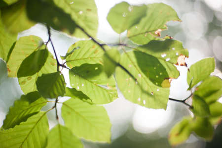 Leaves of a tree in backlight.