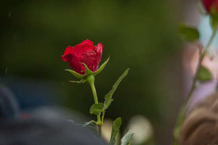 A red rose in front of a soft focused background