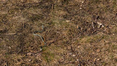 A grass snake (Natrix natrix) slowly moving through grass and sticks.
