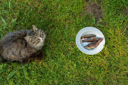 Cat sitting in front of a plate of fish, not looking that hungry. Stock Photo