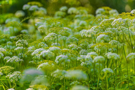 Cow parsley (Anthriscus sylvestris) in a green field.