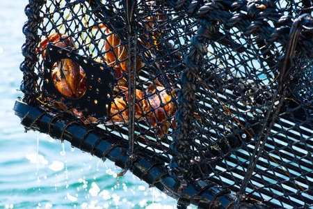 A crab trap being lifted out of the water with crabs in it, Cancer pagurus. Archivio Fotografico