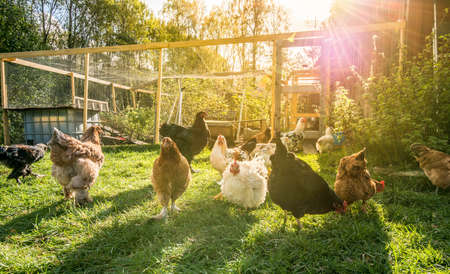 Happy chicken outside their pen..