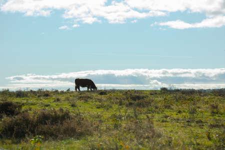 Brown cow grazing in an open field