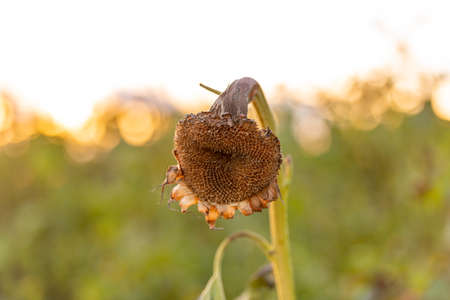Sad and rotting sunflower in a field at sunset 免版税图像