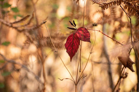 Lonely red autumn leaves on a bransch 免版税图像