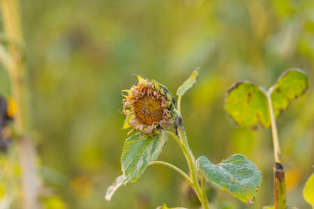 Sad sunflower in a field at sunset
