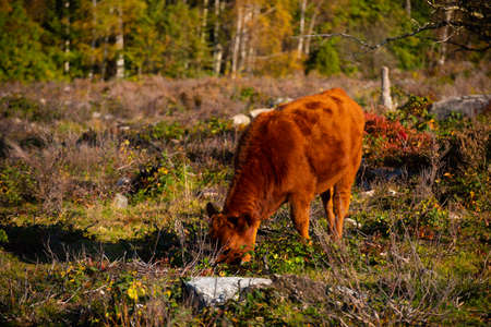 Brown cow grazing in an open field by a forest