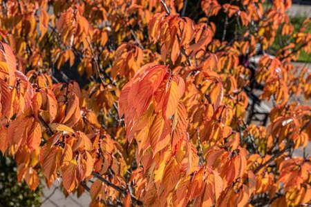 Deep orange autumn leaves on a tree