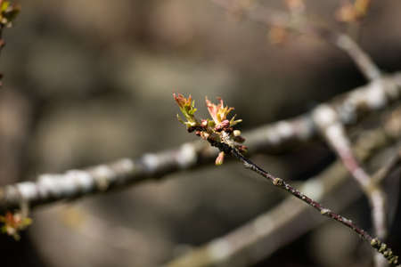 The first buds on the bransch of a tree.
