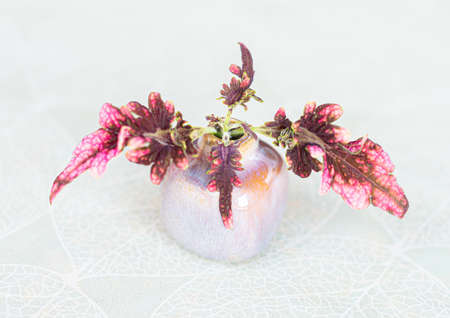 Small and colorful Coleus plant Plectranthus scutellarioides.