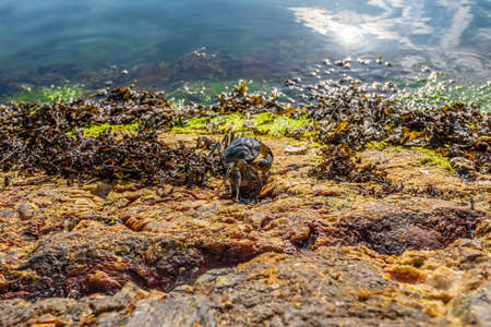 A crab finding its way over cliffs to the sea