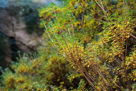 Kiusianum Azalea in the fall 免版税图像