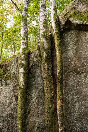 Three birches growing close to a cliffside. 免版税图像