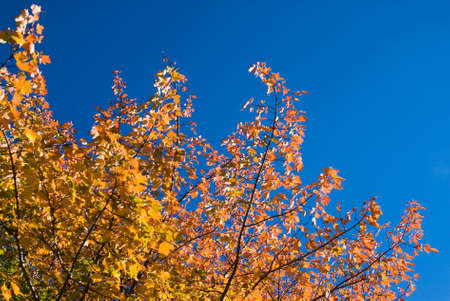 transforms: Brightly lit colorful maple leaves against blue skies