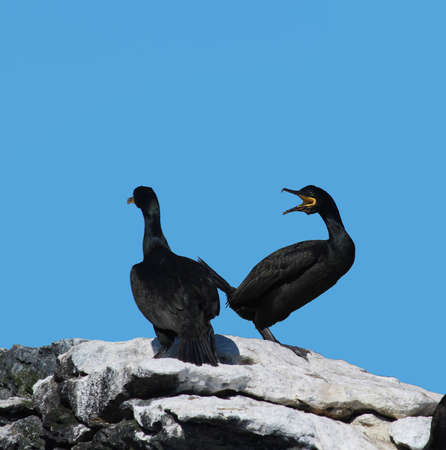 cormorants: Two cormorants   Shag   sitting on a rock talking to each other