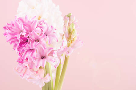 Elegant tender pink hyacinth bouquet for mothers day closeup with sun beam and sun flare flare on pink background, copy space. 免版税图像
