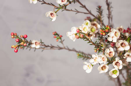 White elegant tiny flowers on spring branch of blooming cherry tree, closeup with blur, copy space.