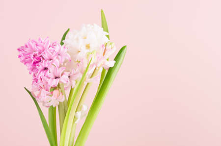 Soft light exquisite white hyacinth flowers on pink backdrop closeup, romantic springtime background.