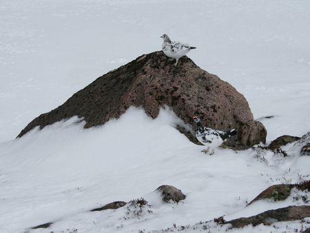 plummage: Ptarmigan en plumaje de invierno Foto de archivo