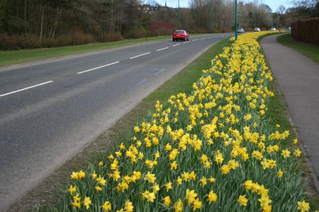 Road in Springtime lined with daffodils