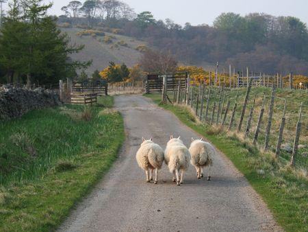 Sheep walking along a road Stock Photo