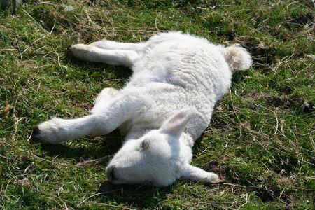 feeble: Sick lamb