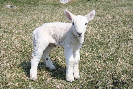 feeble: lamb close up Stock Photo