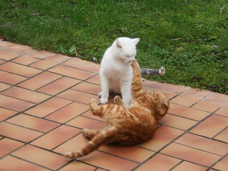 fierce competition: one cat yelding to another cat