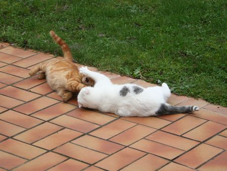 fierce competition: two different coloured cats fighting Stock Photo