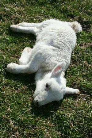 feeble: Sick lamb laying down in field  Stock Photo