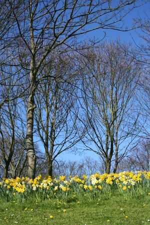 Woodlands in springtime with daffodils  photo