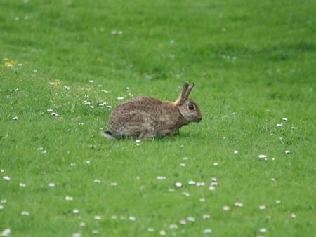 wild rabbit on lawn of grass