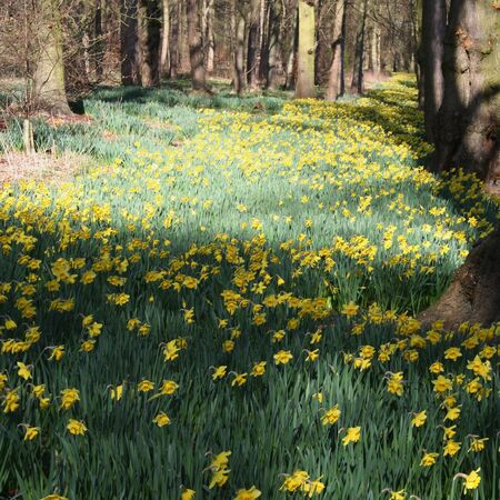 woodland in springtime with daffodils Stock Photo - 2613651
