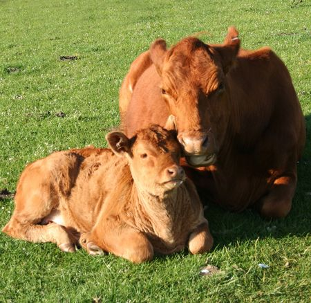 cow and calf resting in green field photo